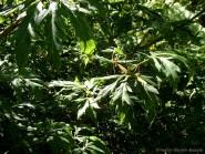 Acer circinatum 'Monroe'