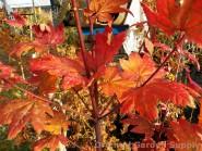 Acer circinatum 'Burgundy Jewel'