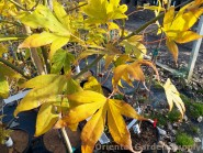 Acer circinatum 'Seedling'